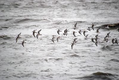Vogelschwarm in Bewegung
