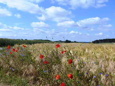 Sommerfelder auf Usedom