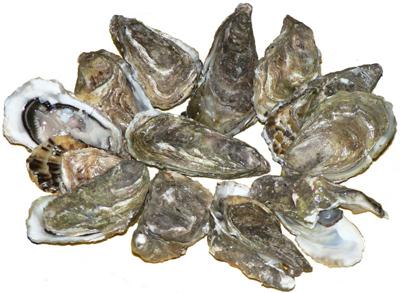 Pazifische Auster verdrängt heimische Miesmuschel