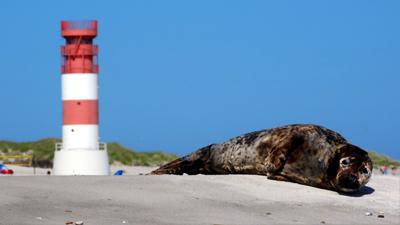 Robbe vor dem Leuchtturm Helgoland - Düne