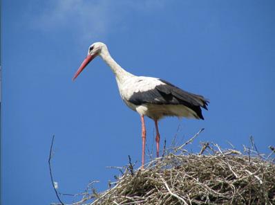 Erster Storch zurück