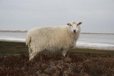 Schaf im Winter auf Sylt