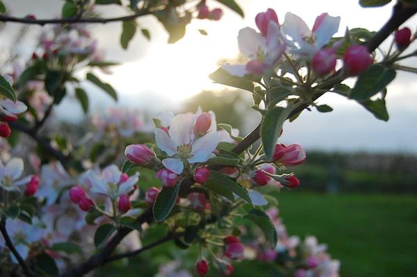 Zauberhafte Blütezeit im Alten Land