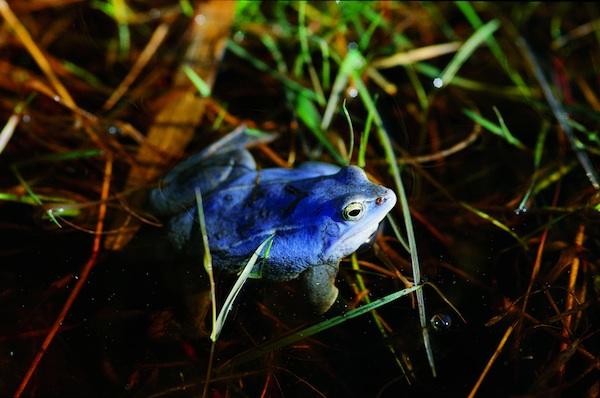 Blaue Frösche im Ribnitzer Moor
